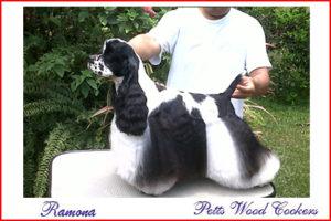 Petts Wood Cockers colombia, ramona