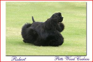 Petts Wood Cockers colombia, robert