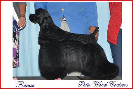 Petts Wood Cockers colombia, Romeo